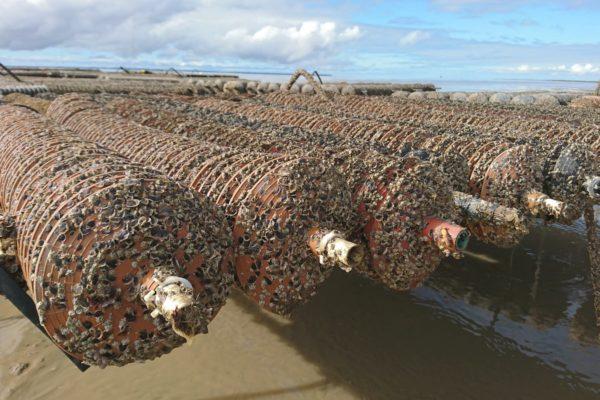 Collecteurs-desnaissains-d'huîtres
